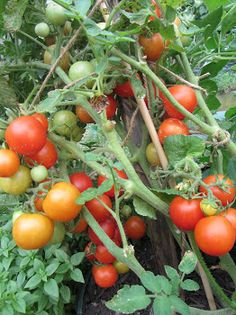 Tomato Blossom End-Rot:  Emergency Treatment and Prevention