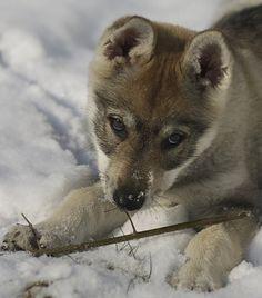 Beautiful wolf pup...bonding   by Timoleon Vieta II/flickr