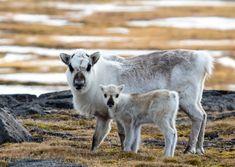 Svalbard Wildlife–Svalbard Reindeer, Walruses, Arctic Fox, Whales, and Arctic Birds Arctic Animals, Arctic Fox, Norway Wallpaper, Svalbard Norway, Longyearbyen, List Of Animals, Four Legged, Polar Bear