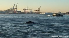 For the second time in as many days, a whale was sighted in the waters around New York City on Friday, this time in the Hudson River near the George Washington Bridge as well as from the Staten Island Ferry.