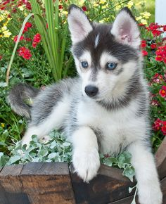 Pomsky Dog - Everything You Need to Know About Pomskies - Süße Hundebilder - Sweet Dogs! Cute Husky Puppies, Husky Puppy, Cute Dogs, Dogs And Puppies, Doggies, Husky Mix, Super Cute Animals, Cute Baby Animals, Animals And Pets