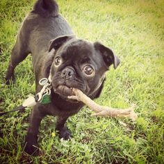 Pug with Stick