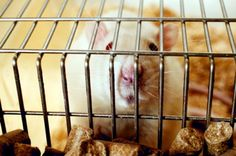 L'Oreal won't be testing on rats like this guy! They just committed $ 1.2 million in finding alternatives to animal testing!
