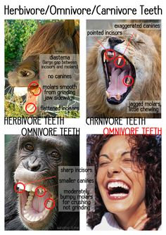 Fantastic article about omnivore teeth, as related to dietary needs (eg:vegetarianism) Herbivore Omnivore Carnivore Teeth