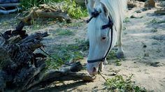 Cute White Horse eating grass.Lovely Look