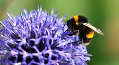 #bee populations are declining. Here's what you should know and what you can do in your #backyard to help.