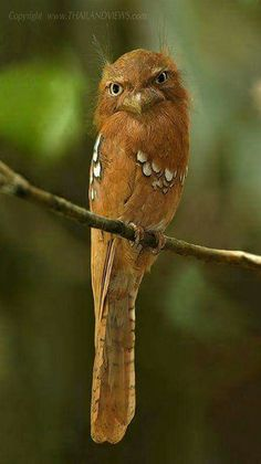 Javan Frogmouth - Lives in lowland forests of Java and Bali