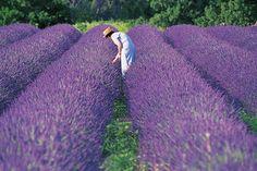 Campos de flores de lavanda, Francia.