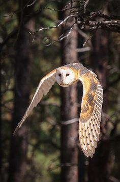 Barn Owl In Flight This is one beautiful owl- with its' heart shaped face, intricate feathers, ghostly appearance an Beautiful Owl, Animals Beautiful, Cute Animals, Owl Photos, Owl Pictures, Owl Information, Tyto Alba, Owl Wings, Exotic Birds