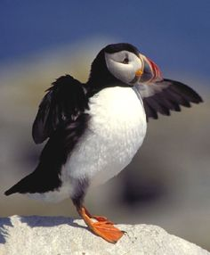 Atlantic Puffin: Seen in wild, off coast of Maine.