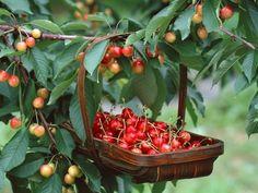 Плодовые деревья: все секреты выращивания лучшего сада