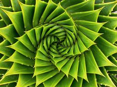 Green Spiral Plante Aloe polyphyla