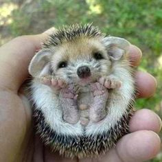 Idk why I love hedgehogs so much, but I love em.