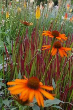 japanese blood grass | Kniphovia, Echinacea, and Japanese Blood Grass. I had never seen this ...