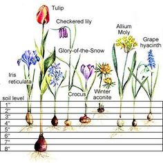 This helpful chart will show you how to plant some of your favorite spring flowering bulbs.