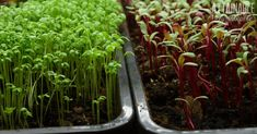 Learn how to grow microgreens indoors with this handy guide to growing wintertime salads.