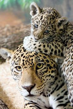 <3  #cat #cats #leopard