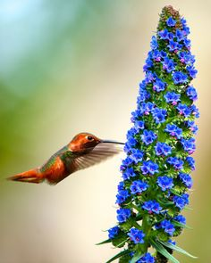 That's an amazing flower and bird! Pride of Madeira! by Danny Perez Photography on Flickr