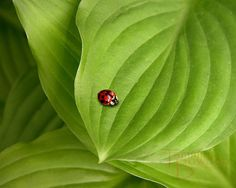 my little sister! Ladybug on Hostas by TammieBowden