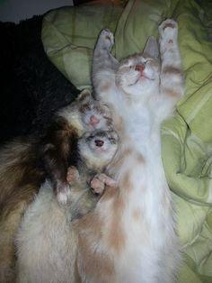 Nainen pelasti kissanpennun ja esitteli sen freteilleen – Katso, mitä siitä seurasi! * Tämä on yksi hellyyttävimmistä kuvakoosteista kautta aikain. Nainen otti hoiviinsa pienen kissanpennun. Hän jännitti kovasti, miten kotona asustavat fretit ottavat uuden tulokkaan vastaan. Mutta kuten tämä kuvasarja osoittaa, hän jännitti aivan turhaan. * Kissanpentu sai nimekseen Ned.