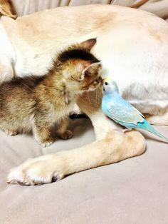 ミンショジョ: わさびちゃん(子猫)×ぽんちゃん(ゴールデンレトリバー)が可愛すぎる!