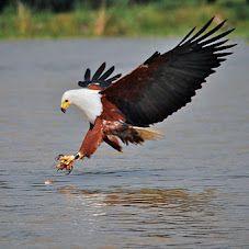 African Fish Eagle in Action, Lake Baringo, Kenya