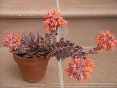 Echeveria 'Serrana' is a small, rosette-forming succulent plant, up to 6 inches (15 cm) tall and up to 4 inches (10 cm) in diameter...