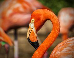 https://flic.kr/p/xcz3aR | Flamingo | Photo taken at the Oklahoma City Zoo.