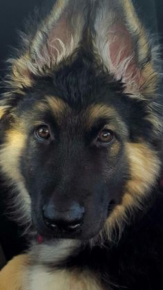 """GSD Puppy Hope you're doing well.From your friends at phoenix dog in home dog training""""k9katelynn"""" see more about Scottsdale dog training at k9katelynn.com! Pinterest with over 20,400 followers! Google plus with over 143,000 views! You tube with over 500 videos and 60,000 views!! LinkedIn over 9,200 associates! Proudly Serving the valley for 11 plus years!"""