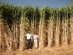 Developer eyes giant grass for Thai Biomass Plant fuel