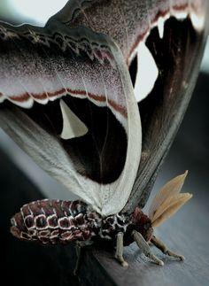 absinthius:    Atlas Moth