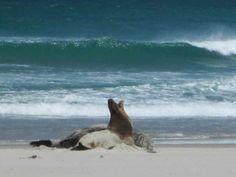 Natur pur auf der Otago Peninsula - Seelöwen, Schafe und Meer