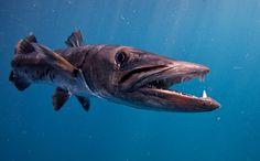 baracuda | Charlie Hamilton James - Nature and Wildlife Photographer - Barracuda