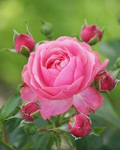 高岡おとぎの森公園の薔薇 #薔薇 #バラ #ばら #花 #庭の花 #ガーデニング #ローズガーデン #はなまっぷ #花フレンド #ザ花部 #花のある暮らし #庭 #ファインダー越しの私の世界 #rose #flower #flowers #rosegarden #flowerphoto #gardening #flowerlovers #rainbow_petals #olympuscamera #flowerstagram#fm_flowers_ #inspring_shot #funda_flowers#instagramjapan
