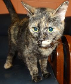 UPDATE-ADOPTED! AVAILABLE NOW AT THE LAPEER SHELTER! Name is Kit, front declawed  spayed, social  loves attention!  https://www.facebook.com/photo.php?fbid=662600090477480set=a.274627135941446.60725.267166810020812type=1theater