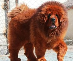 Worlds most expensive dog is the red tibetan mastiff which was recently sold at…