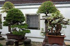 Jardin de Amy Liang en Taipei, Taiwan.  Foto del Facebook de Philippe Massard.  #Bonsai #BonsaiTree #盆栽 #BonsaiLife #Tree #BonsaiWorld #Бонсай #盆景 #Penjing #Bonsaï #분재 #BonsaiGarden