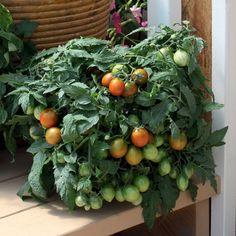 Tomato 'Tumbling Tiger' F1 Hybrid - Tomato Seeds - Thompson & Morgan Worldwide