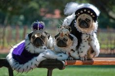 The Royal Family! Their Royal highness' princesses Layla and Lyra, and prince(ss) Kovu! Pugs Dressed Up, Amor Pug, Pugs In Costume, Funny Animals, Cute Animals, Cute Pugs, Pug Love, Favim, Best Dogs