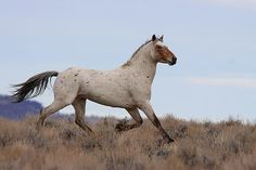 Amazing Strawberry Flea-Bitten Roan Mustang Stallion w/a Bit of Appy Thrown. (Photo by John Wheland). Horse Photos, Horse Pictures, All The Pretty Horses, Beautiful Horses, Wild Mustangs, White Horses, Horse Photography, Horse Girl, Horse Riding