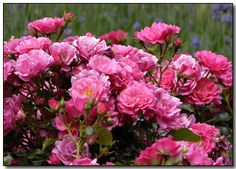 Flower Carpet roses are available at garden and home centers and through Willow Creek Gardens