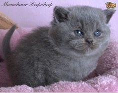 We are reputable hobby Breeders of pedigree British Shorthairs based in the West Midlands. Our prefix British Shorthair Breeders, British Shorthair Kittens, Pet Breeds, Puppy Breeds, Cat Skin, Animal Activities, West Midlands, Pet Shop