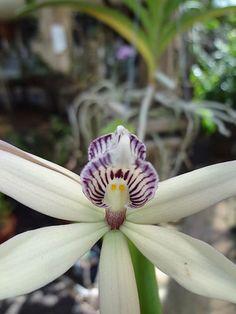 731 PROSTHECHEA BACULUS(Anacheilium Baculus-Confusum-Pentotis-Encyclia Baculus-Pentotis-Prosthechea Confusa-Epidendrum Acuminatum)