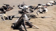Peru Coast Littered With Dead Birds And Dolphins