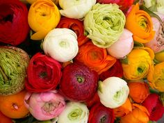 Ranunculus (Ranunculus Asiaticus Magic Mix) - Also known as Persian Buttercup, these sweet colorful annuals cannot be more fun and rewarding to grow from Ranunculus flower seeds. This Persian Buttercup mix features dwarf, mounding plants with a re.