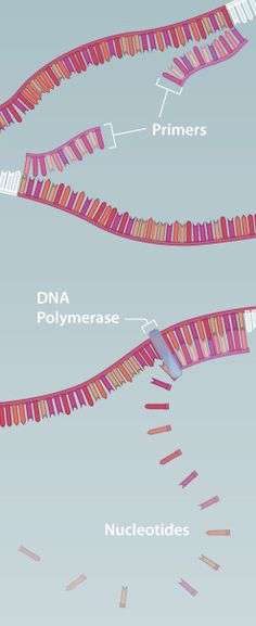 This is one of the best websites I've found for learning genetics lab techniques. It has a detailed animation on PCR!