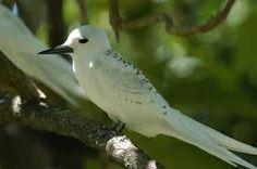 Spotted White vanga bird