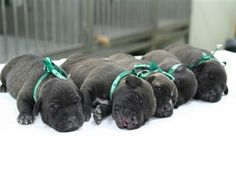 Sweet Black Dog Babies
