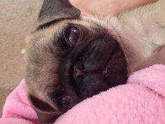 Pug puppy Percy
