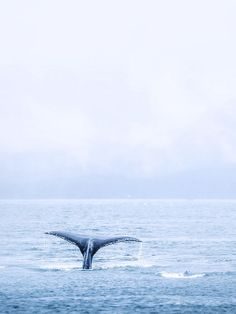 A Humpback whale performing it's signature dive near Juneau, Alaska.